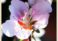 衷愛桃花,緣於那些千古絕唱