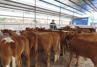養牛知識,養牛基本知識解讀