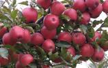 家裡有地別荒著!種上一棵高營養果樹,一年兩熟,果實大又甜
