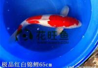錦鯉疾病腸炎的症狀、原因