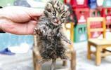 在黃山撿到一隻貓崽,數月後發現是豹貓