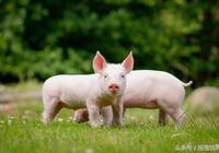 治療豬瘟的小方法!
