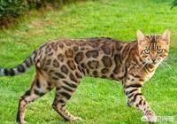 野生的豹貓戰鬥力怎麼樣?為什麼?