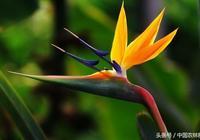 天堂鳥——鶴望蘭的栽培技術