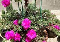 """路邊挖棵""""太陽花"""",學會2招,養一年變""""老樁"""",能開多色花"""