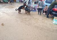 狗市:你聽說過萊州紅犬嗎?它和德國牧羊犬長得很像!