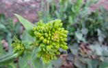 微距攝影——油菜花