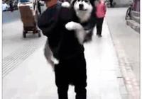 男子抱著阿拉斯加回家,有人不解,得知原因後:養寵物也不容易啊
