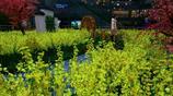 """商家把""""油菜園""""搬進城市廣場 供市民免費拍照"""
