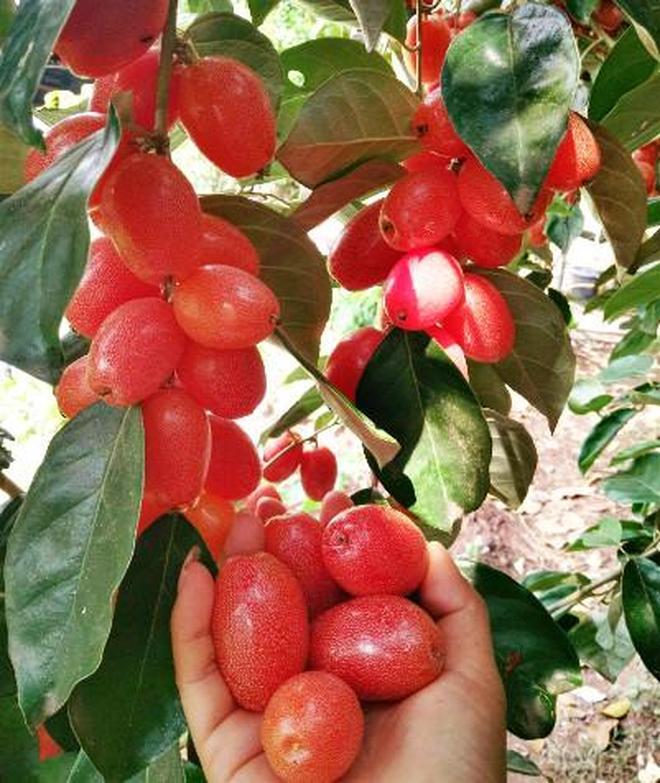 胡頹子這種野果在農村很常見,紅彤彤的好看又好吃,你吃過嗎?