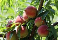 鷹嘴桃幾月份成熟 鷹嘴桃一年產量多少