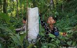 雲南古茶樹面臨過度採摘 元陽古茶樹茶葉收購價僅40餘元一斤