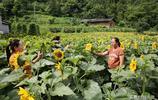 隱世小山村向日葵花盛開引來遊客,高顏值經濟讓村民脫貧致富