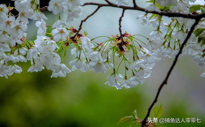五龍潭櫻花節