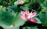 武漢美麗的荷花季已到來,公園湖畔美成一幅畫