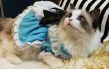 寵物圖集:布偶貓寵物美圖