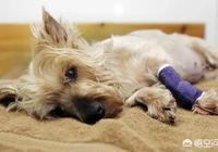 餵養的狗狗去世前,會捨不得自己的主人嗎?為什麼?