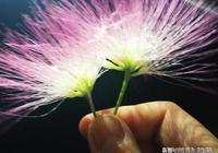 老海棠樹----史鐵生