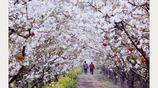 梨花盛開的季節邂逅花海,少女踏青賞花展現自我,農夫辛勤耕作
