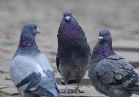 一隻公鴿子能帶領多少隻母鴿子?