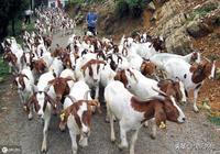 10個養羊問題解答,為養羊戶保駕護航!