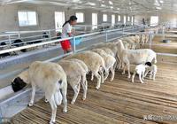 """養羊的重點在""""養""""字,個人養羊的一點心得!"""