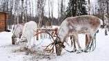 在芬蘭拉普蘭,體驗神祕的北極圈旅遊,這些項目你不要錯過!