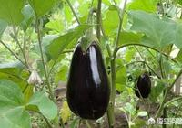 在農村有些人,情願種原來家中的老品種蔬菜,說現在買的種子種出來的菜不香,你認為呢?