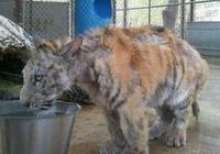 救援人員將老虎從馬戲團裡救出,長期捱餓和虐打,早已喪失了野性
