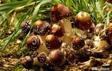 稀罕物!實拍河南駐馬店市驛城區大福農種植合作社赤松茸收穫過程