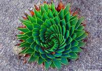 神奇的蘆薈女王——多肉植物多葉蘆薈