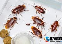 蟑螂對人類有哪些好處 被蟑螂咬了怎麼辦?