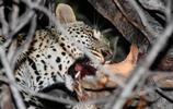 豹子的血肉大餐
