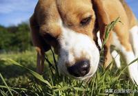 狗狗賣力吃草的原因大多數人不知道,為什麼不要阻止它?