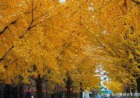 攝影-照片、丹東遼東學院臨江的銀杏樹,樹多、人多、景很美!