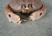 為什麼海南很多農民出海打魚抓到傻瓜蟹,只是掰下蟹腳,身子卻不要,這是為什麼?