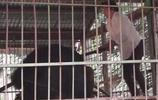 男子挑釁黑熊不給食物,下一秒遊客目睹他被黑熊拖進籠子