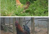 土雞蛋和飼料雞蛋的區別,土雞蛋和飼料雞蛋營養價值一樣嗎?