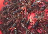 小龍蝦的肉又不多,殼還不好剝,為什麼還有那麼多人喜歡吃小龍蝦?