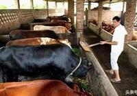 酒糟飼料養牛可行性分析