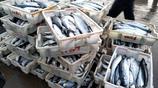天冷養出好美味 青島早市海捕黑頭魚35元一斤 鮁魚成筐購買實惠