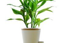 冬天怎樣養富貴竹?