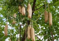 """會長滿""""香腸""""的樹:可以直接食用,一根就管飽!"""