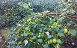 農民放棄了以往種植5畝的玉米,用心種植它,輕鬆年入十幾萬!