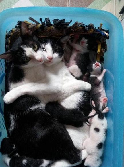 貓咪下崽太累,貓爸實力寵妻:鏟屎的,看我霸氣撩妹,你學著點!
