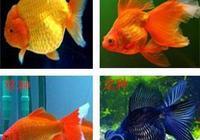 不認識金魚的快進來看看,十二種常見金魚附圖介紹