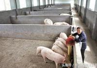 養豬人話養豬-不能當事業