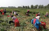 秋收,這麼多農村大娘圍在田裡在幹啥,一斤工錢2毛5,一天掙40元