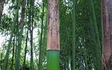 四川農村才有的稀有特產,進來看看有認識的嗎,包粽子特別好吃!