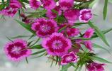 花卉圖集:石竹